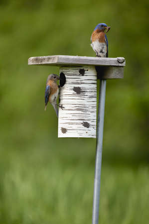 A male and female bluebird sit on their house ready to feed their young