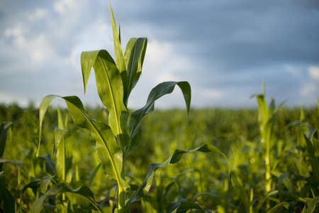 Selective focus view of a young corn plant in early morning sunlight