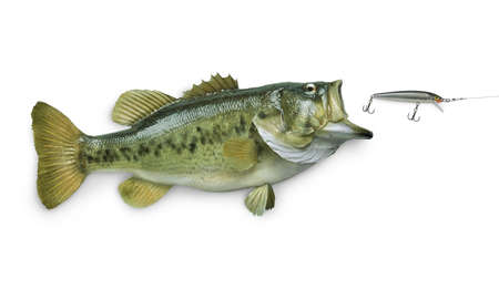 A big largemouth bass chasing a lure isolated on white background