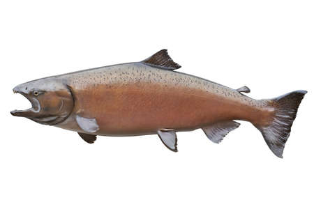 Big female Alaskan king or chinook salmon in spawning colors isolated on white  This one weighed 58 pounds and measured 48 5 inches Stock Photo - 18235933