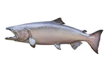 Big male King  Chinook  salmon from Alaska isolated on white  He is in a stage of color known as blush  This one weighed 66 pounds and measured 51 inches   Stock Photo - 18235914