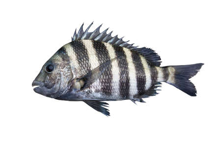 A sheepshead saltwater fish isolated on a white background