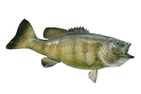 A smallmouth bass isolated on a white background Stock Photo