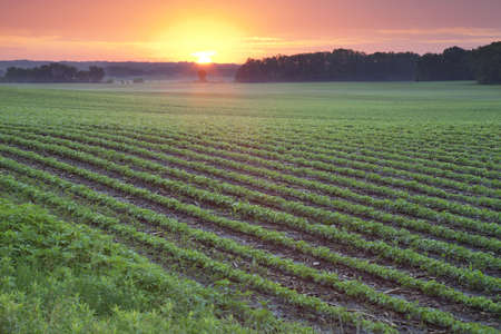 Minnesota soybean field pictured at sunrise