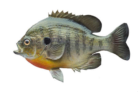 A bluegill sunfish isolated on a white background