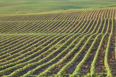 Rows of young soybean plants in a field shot in morning light
