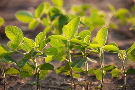 Young soybean plants viewed at a low angle with selective focus 免版税图像