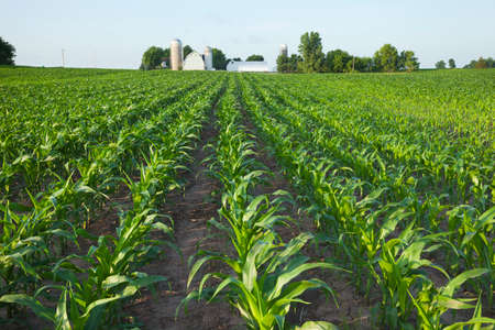 A green field of young corn plants with a farm in the background Stock Photo