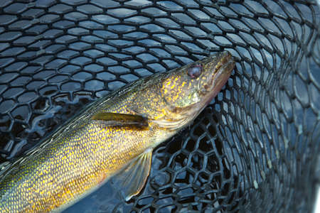 walleye: A close up shot of a nice minnesota walleye in a fishing net Stock Photo