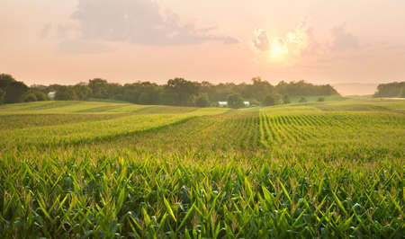 A midwestern cornfield glistens below the setting sun