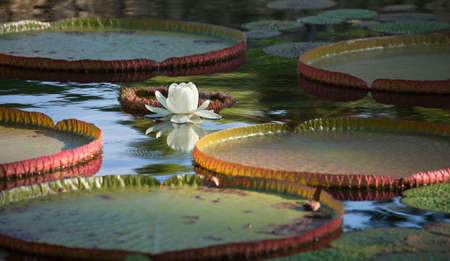 Lily pads and white flower on a pond in morning light
