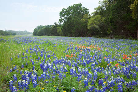 Bluebonnets and Indian Paintbrush flowers in a field alongside a Texas Hill Country road Stock Photo