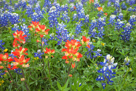 A low angle view of Indian Paintbrush and Bluebonnets wildflowers in a Texas field 免版税图像