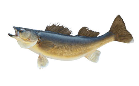 A nice big walleye isolated on a white background