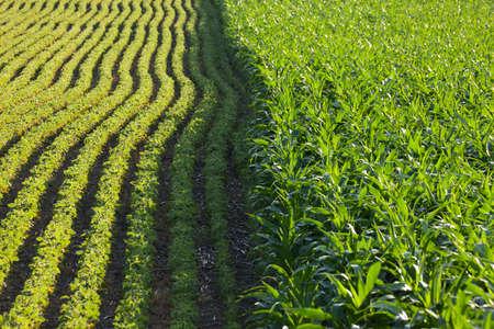 corn: Filas de ma�z y soja junto a la otra en un campo iluminado por el sol en un d�a de verano