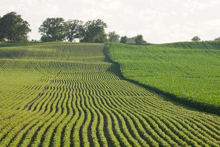 corn: Dos campos de ma�z y soja lado de la otra en sol de la tarde
