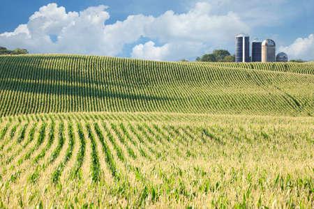 mazorca de maiz: Campo del balanceo de maíz con silos, cielo azul y nubes en el fondo Foto de archivo