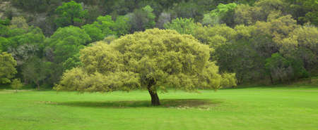 A Texas Live Oak tree in front of  a ridge in the Texas Hill Country during springtime