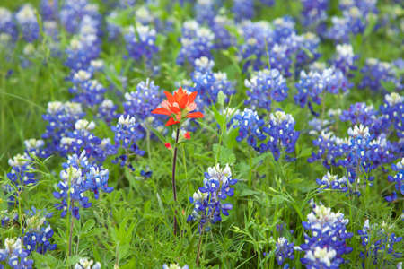bluebonnet: Selective focus view of a single Indian Paintbrush flower among many Texas Bluebonnets Stock Photo