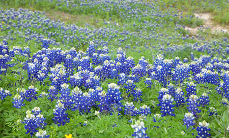 bluebonnet: Selective focus, low angle view of Texas Bluebonnets on a hillside in the Texas Hill Country Stock Photo