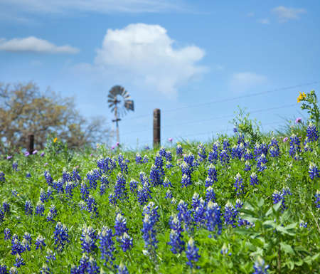 bluebonnet: Selective focus of Texas Bluebonnets and windmill on a hillside Stock Photo