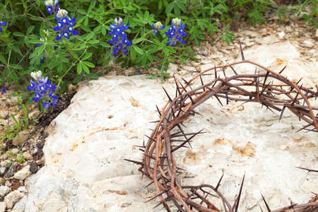 bluebonnet: Crown of thorns on rocky ground next to a patch of Texas Bluebonnets