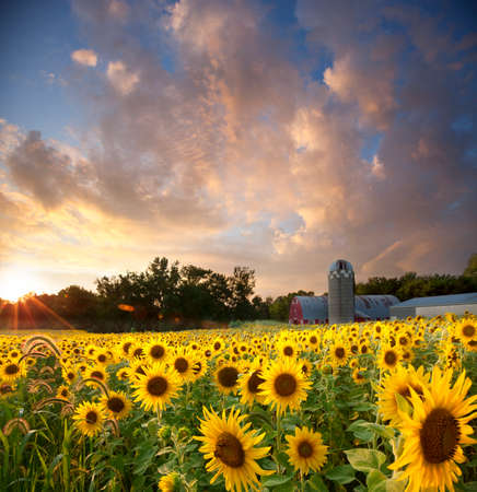 Field of yellow sunflowers below a dramatic sunset sky