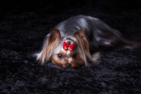 blanket: Cute Yorkshire Terrier with red bow lies on black blanket
