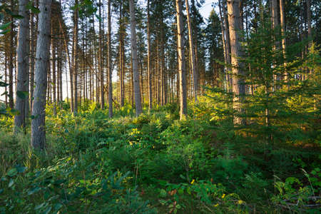 northern light: Early morning light filters between tall pines in a northern Minnesota forest Stock Photo