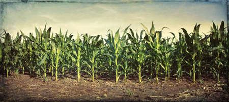 Panorama of young corn plants in a field with grungy texture applied Stock fotó
