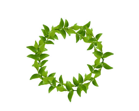 laurel: Laurel Wreath made by fresh Green leaves  isolated on white,