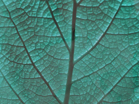 photosynthesis: Macro photo of leaf of a plant, green and fresh