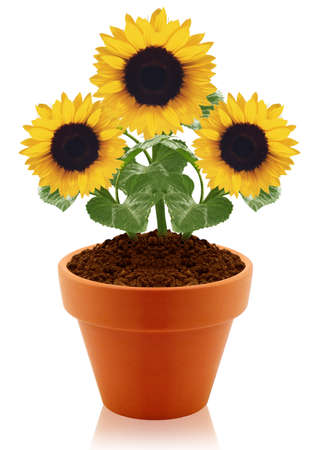 sunflower in clay pot isolated on white background.