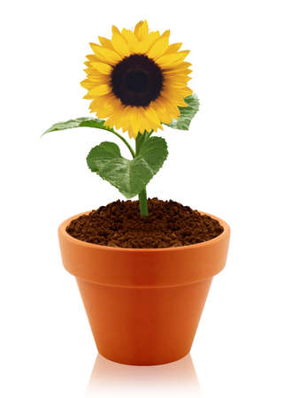 plant pot: sunflower in clay pot isolated on white background.