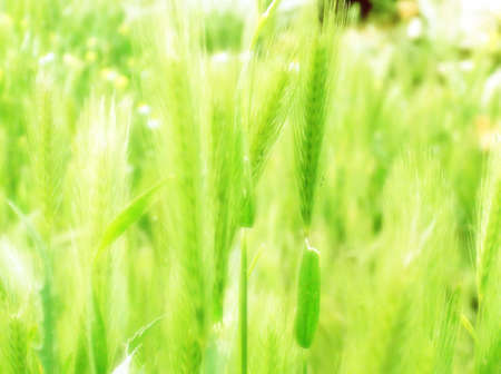 ear of green wheat background. photo