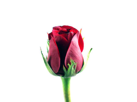 Red rose on the white background and copy space for text. photo