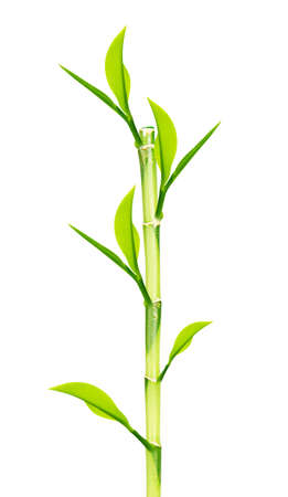 Green Bamboo stems isolated on white background  photo