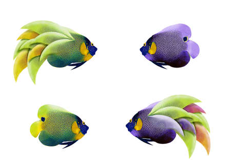 imperator: colorful angelfish isolated on white background Stock Photo