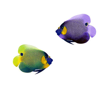 colorful fishes: colorful angelfish isolated on white background Stock Photo
