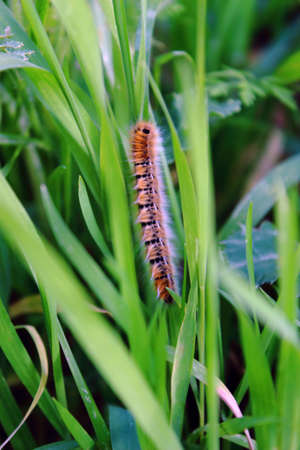 caterpillar, swallowtail, spring worm on green leaf .  Stock Photo - 19427429
