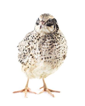 quail isolated on white background photo