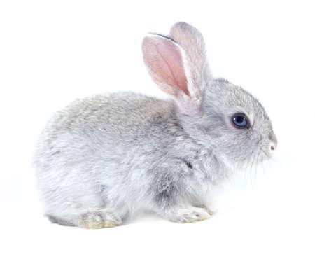 young rabbit: Lapin gris isolé sur fond blanc