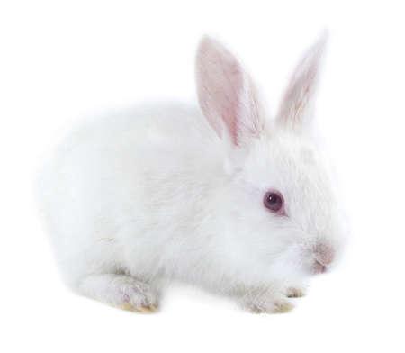 white rabbit: White rabbit isolated on white background Stock Photo