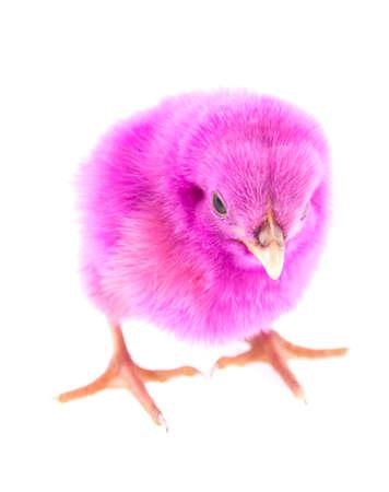 白い背景に分離された少しのピンク鶏動物します。