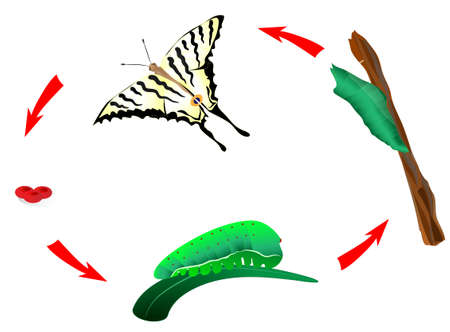 swallowtail: Butterfly habits life cycle  From caterpillar to butterfly  Metamorphosis  Scarce Swallowtail, Iphiclides podalirius Illustration