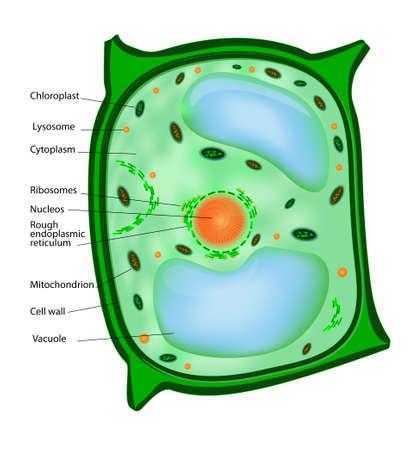membrana cellulare: Pianta struttura cellulare di una cellula vegetale