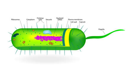 cytoplasm: Structure of a bacterial cell  Microbe  Vector