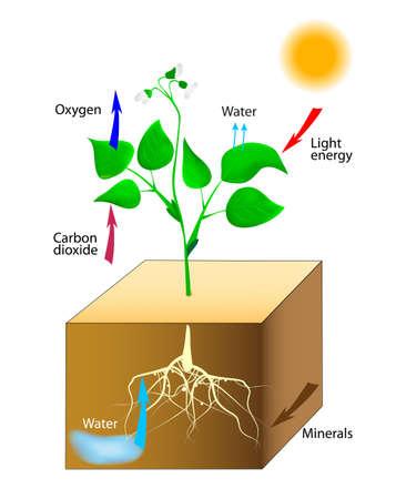 zuurstof: Fotosynthese Vector Schematische voorstelling van de fotosynthese in planten Stock Illustratie