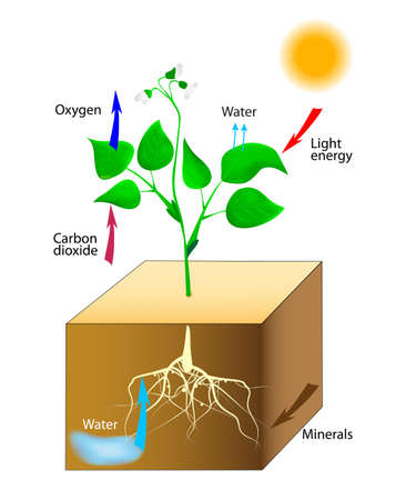 respiration: Photosynthesis  Vector  Schematic of photosynthesis in plants  Illustration