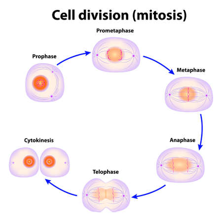 replication: Cell division  Mitosis  scheme